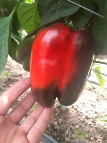 Dobre-wybarwienie-owoców,-intensywny-kolor-i-perfekcyjna-jakość-skórki