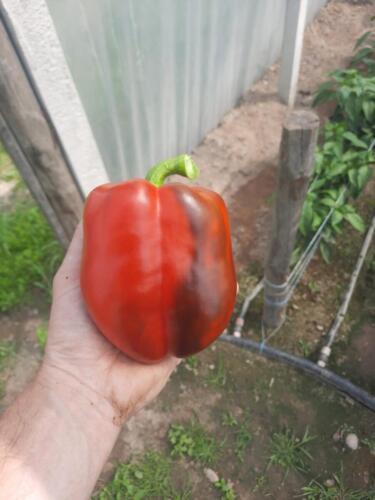 Wyrównana-wielkość-i-kształt-owoców