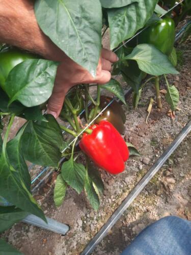Wczesne-dojrzewanie-pierwszych-owoców,--wysoki-wczesny-plon