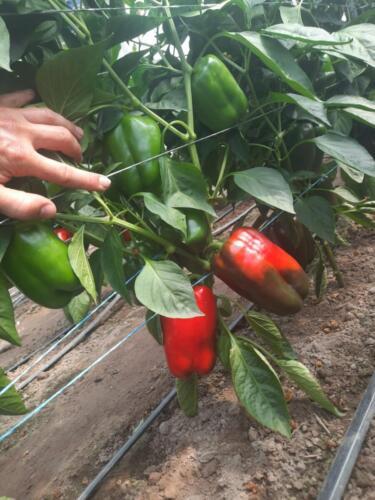 Optymalne-rozłożenie-owoców-na-roślinie,-nie-zakleszczają-się